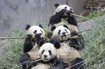 Actually Pandas are actually kind of lame. Not that I wouldn't want to chew on some reeds with a few one day.