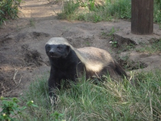 But the Honey Badger? He don't care.